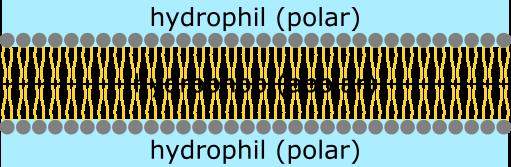 Membran-Polarität